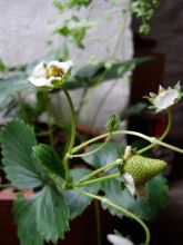 My little strawberry