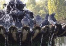 Happy pigeons, enjoying a bath!