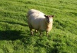 Happy Welsh sheep